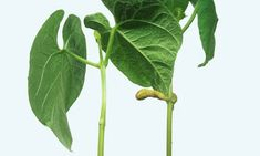 Food for thought? French bean plants show signs of intent, say scientists | Plants | The Guardian Garden Plants, Indoor Plants, Interesting Science Facts, Growing Beans, Information Theory, Swiss Cheese Plant, Bean Plant, Time Lapse Photography, Gardening Gloves