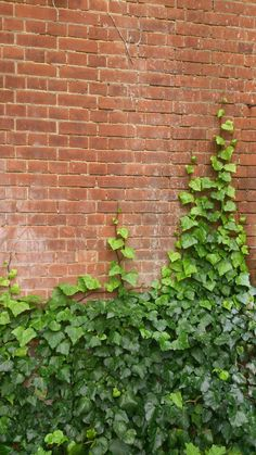 Ivy Bricks