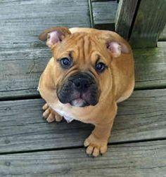 Olde English Bulldog Puppy!