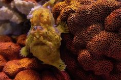 Jason Henderson Artwork Collection: The Colors of the Frog Fish New Kids, Fish, Colors, Artwork, Photography, Collection, Work Of Art, Photograph, Auguste Rodin Artwork