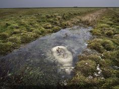 This is a sheep that died in a bog. The top of the back of the sheep was exposed, and rotted away, leaving the spine and portions of the top of the ribcage visible. However, the portion of the sheep below the surface of the water has been preserved intact.