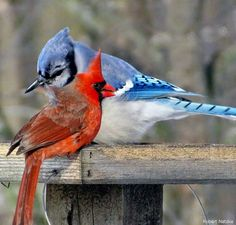 Northern Cardinal and Blue Jay. Pretty Birds, Beautiful Birds, Animals Beautiful, Cute Animals, Bird Pictures, Animal Pictures, Cardinal Pictures, Cardinal Birds, All Nature