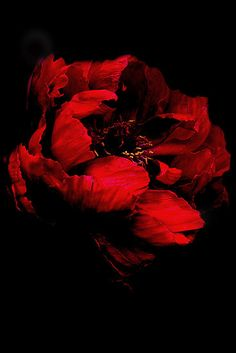 Red on Black by Karen Martin IPA:  Gorgeous peony bloom, worked in photoshop and Picasa.  Nikon D40x with 18-55mm lens, hand held.