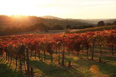 Sierra Foothills vineyard in the fall.