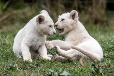 Sibling rivalry: Two lion cubs battle for glory in a play fight while their parents weren't looking