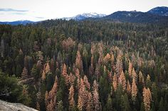 26 Million Trees Died in California Forests in Just One Year - CA drought could mean a very bad fire season 😟