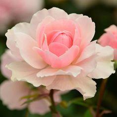 ウィズリ2008(Wisley2008) #rose #flower #flowerstagram #flowers