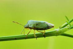 Groene Stinkwants  (Van vroegevogels)