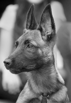 Malinois EARS!!! Love! - Yeah perked ears just before he takes down a bad guy lol. I love these dogs