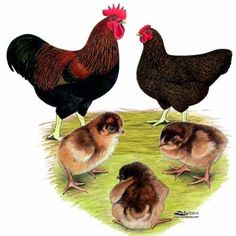 Partridge Plymouth Rock Chicks, Buy Partridge Plymouth Rock Chickens, Partridge Plymouth Rock Chicken Picture Images