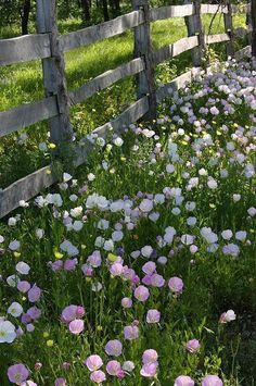 Old wood fence and evening primrose