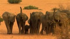 Mali Elephants:  Demand action to save the rare... http://www.thepetitionsite.com/373/804/575/demand-action-to-save-the-rare-gourma-elephants-of-mali-from-the-guns-of-poachers/#bbtw=631059606