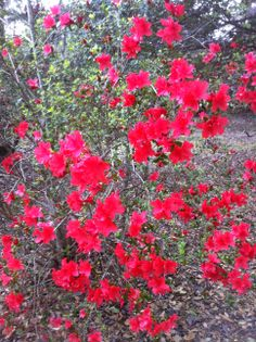 Red Azaleas...Photo by Linda Guy Phillips