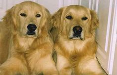 Because the only thing better than a golden is two goldens!!