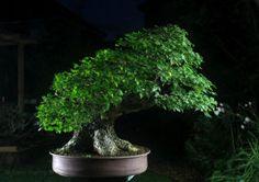 English Elm Bonsai