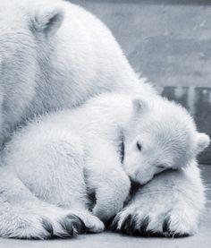 International Polar Bear Day | PawNation