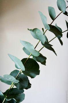 Arreglos florales: ramas jóvenes de Eucalyptus Gunnii