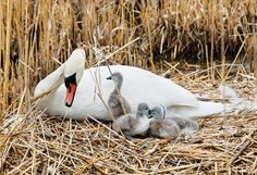 Featured Letter: In defense of the mute swans... Current research and worldwide swan and wetland habitat specialists state mute swans serve as an indicator species in alerting to problems in the environment.