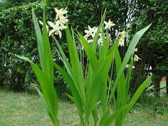 Bletilla ochracea - hardy orchid