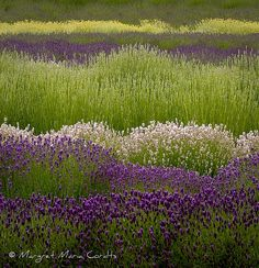 Lavender and santolina fields - Mary Margaret Cordts