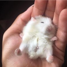 Baby Animals The Basic Inborn Instincts They Possess Vote For The Best Baby Animals Super Cute, Cute Little Animals, Cute Funny Animals, Funny Hamsters, Robo Dwarf Hamsters, Baby Hamster, Cute Rats, Cute Animal Pictures, Animals And Pets