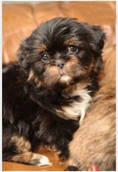 10 week old  Lhasa Apso, how sweet is this face?