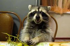 Mitya the Raccoon loves eating grapes at the table.