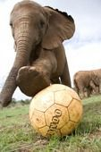 Elephants play too | Africa Media Online:    A baby elephant, Nchan, steps on the ball as she plays soccer at the David Sheldrick Wildlife Trust in Nairobi, Kenya, October 27, 2009. The elephants are orphans that have been rescued from various parts of the country after their parents were killed by poachers. After spending two years in the Trust, they are integrated into the wild at the Tsavo National Park.