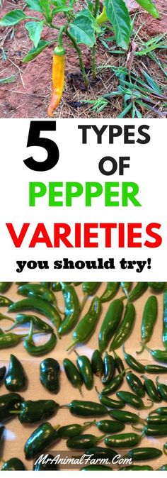 There are SO may types of peppers that you can grow.  Let us weed out the 5 best types of peppers to grow in your garden!