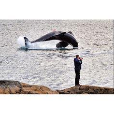 Wonderful photo of a Norwegian orca by @alexconu