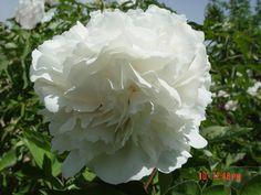 купить  морозостойкое растение пион рока,оптом семена пиона рока,интернет магазин пиона рока Пионы, Цветы, Растения