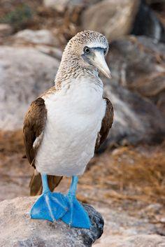 Sula nebouxii / Piquero Camanay / Blue-footed Booby / Fou à pieds bleus / Blaufußtölpel Pretty Birds, Beautiful Birds, Booby Bird, Blue Footed Booby, Different Birds, Animal Crackers, Sea Birds, Birds Eye View, Cool Pets