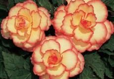 Begonia Bulbs and Tubers On Sale | Tuberous Begonia Bulbs at Eden Brothers