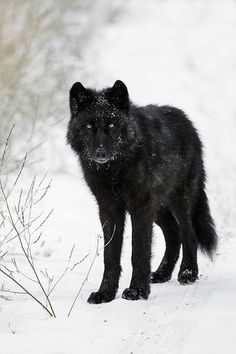 Black Wolf forest snow winter road