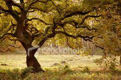 oak tree in fall Royalty Free Stock Photo