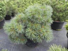 Pinus strobus 'Excitation'