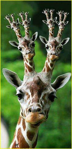 giraffes - Google Search