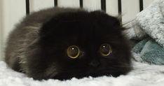 Si vous n'avez pas encore rencontré Gimo le chat avec les plus gros yeux de tous les temps, alors regardez les photos ci-dessous et votre cœur fondra.