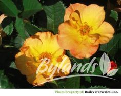 R39 Morden Sunrise Rose - Rosa x 'Morden Sunrise' | Bylands Nurseries Ltd.