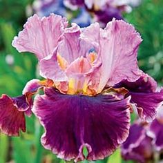 Cranberry Swirl Iris 84338 - For each offer ordered, get 1 bareroot. Price:Each - $7.99.cut-flower arrangements. Sword-like fans of foliage remain attractive all season. Carefree plants grow 28-38 in. tall in full sun or partial shade. Must be planted in fall for spring blooming-1 in front of Fogbound   Elainealope
