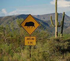Javelina crossing at Schoolhouse Road in Cave Creek, Arizona USA. ck Javelina crossing at Schoolhous Arizona Humor, State Of Arizona, Arizona Travel, Tucson Arizona, Phoenix Arizona, New Mexico, Cave Creek Arizona, Grand Canyon, Utah