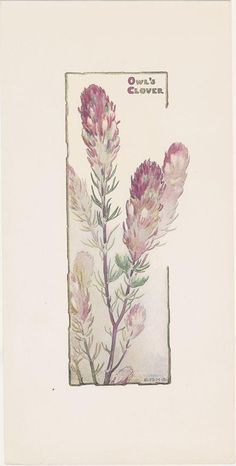 Castilleja (Orobanchaceae).  Elizabeth Hallowell Saunders, print.  Santa Barbara Botanic Garden.