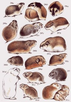 Lemmus lemmus Hamsters, Rodents, Engraving Illustration, Mice, Love Art, Rats, Arctic, Mammals, Insects