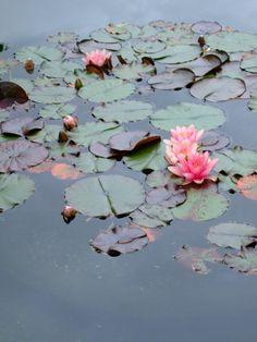 July-Lotus Flower