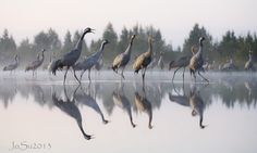 Common cranes Grus grus in Finland Photo by Jouni Suikkanen New Nordic, Crane Bird, Funny Birds, Shorebirds, Stars At Night, My Land, Wild Nature, Nature Animals, What Is Like