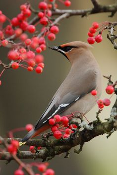 Bohemian waxwing (Bombycilla garrulus) A large flock of Cedar Waxwings landed on the roof of my cottage one afternoon, in Plymouth, Ma. by TheNatureDude Pretty Birds, Love Birds, Beautiful Birds, Animals Beautiful, Small Birds, Little Birds, Colorful Birds, Especie Animal, Mundo Animal