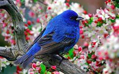 A Kék madarat nem kell távoli országokban keresni. A Kék madár mindig velünk van, ha szeretjük egymást, és örülünk az élet legkisebb ajándékainak is. De mindig elrepül, ha bántjuk egymást, ha irigykedve figyeljük a mások örömét. Mert a Kék madár maga a boldogság, és kalitkája; az emberi szív.    (Maurice Maeterlinck)  facebook.com/szeretetenergiaval.gyogyito.5