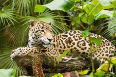 FACTOID: Belize has the healthiest population of jaguars in Central America. Who of you has ever seen one?