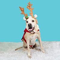 Ocala Fl Boxer Meet Bruno A Pet For Adoption In 2020 Dog Adoption Pet Adoption Pets