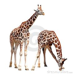 Giraffes Stock Photos, Images, & Pictures – (3,964 Images) - Page 14
